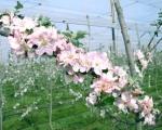 fleurs-juliet