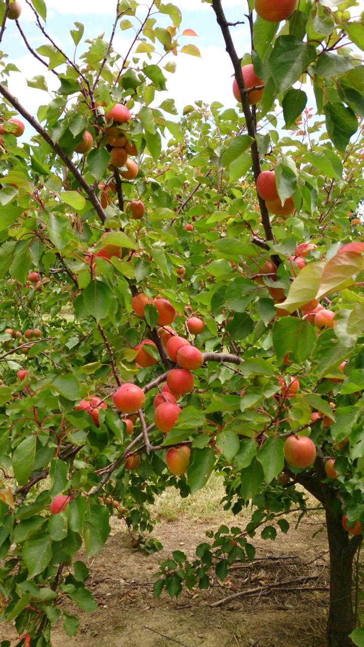 Fruits noyaux blog escande - Planter un noyau d abricot ...