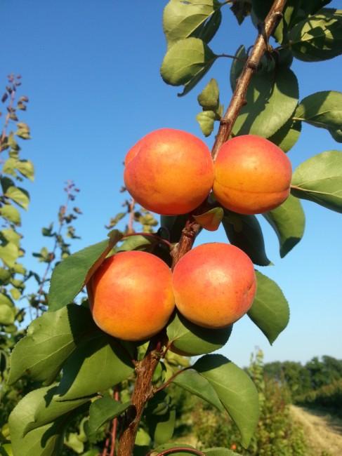 "Abricots de la gamme ""BETINKA AND CO"""