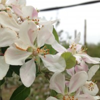 """Il faut récolter des fleurs avec le bouton fermé. En effet, le pollen doit être """"pur"""" et qu'il n'y ait pas eu de mélange avec d'autres pollens amenés par les abeilles."""